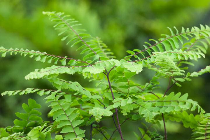Maidenhair Fern Indoor Plant