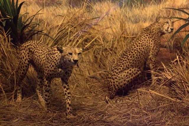 Diorama Kawanan Cheetah Mengintai Mangsa - Museum Satwa, jatim Park #10