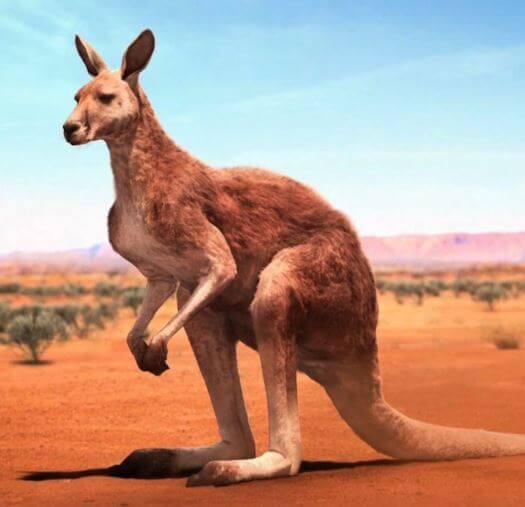 هل يوجد الكنغر في أستراليا فقط؟