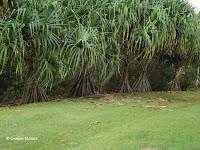 Hala - pandanus - Ho'omaluhia Botanical Garden, Kaneohe, HI