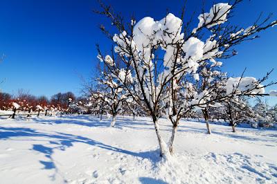 La taille bio des arbres fruitiers abricotier cerisier prunier vigne pêcher pommier poirier framboisier