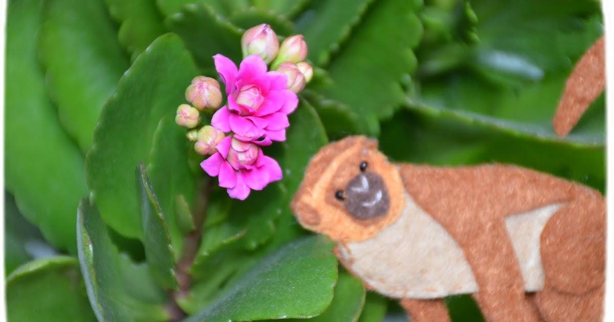 Каланхоэ паспорт растения для детского сада. Уход за каланхоэ в домашних условиях: где разместить и как ухаживать. Грунт и горшок для растения