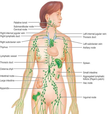Lymph nodes throughout our body