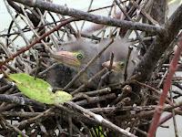 Green heron nestlings, Isla Damas,  Costa Rica - by Agathman, June 2011