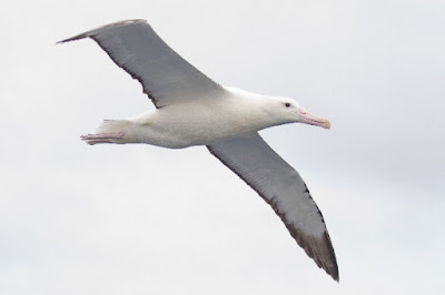 The albatross is the gooney bird in courtship, take-offs and landings, but they are masters of riding the winds.