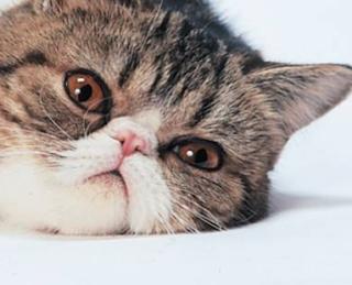 Jenis Kucing Peliharaan Favorit serta Bersahabat