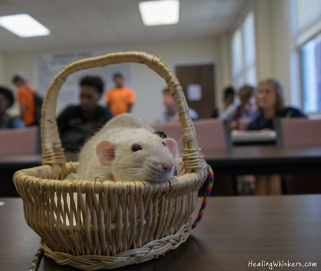 Oliver the Therapy Rat at Shorter University in a classroom
