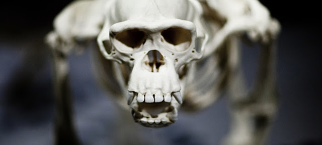 Why aren't humans 'knuckle-walkers?'