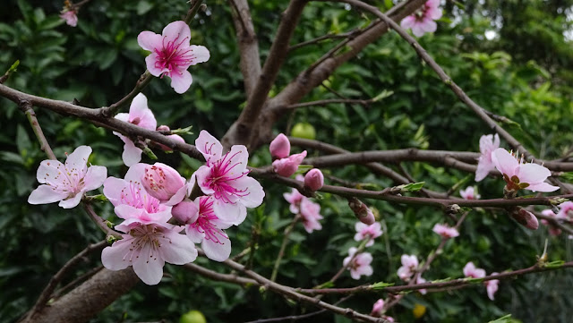 Peach Blossoms Photo by Floral Friday Photos