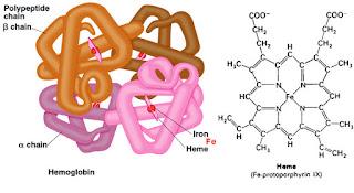 Hemoglobin Darah (Hb atau Hgb)