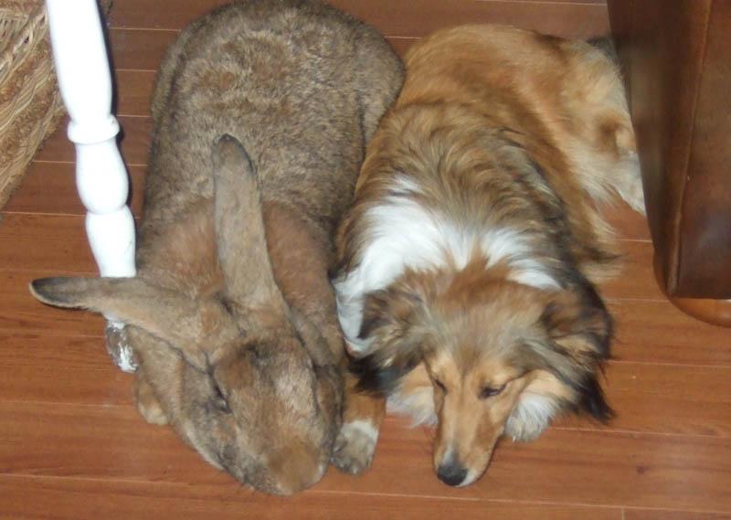 flemish giant rabbit and dog -#main