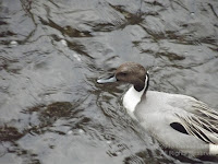 Northern pintail on the Onda river, Naruse, Machida, Tokyo, Japan. Note the finely striated plumage on the back. - © Denise Motard