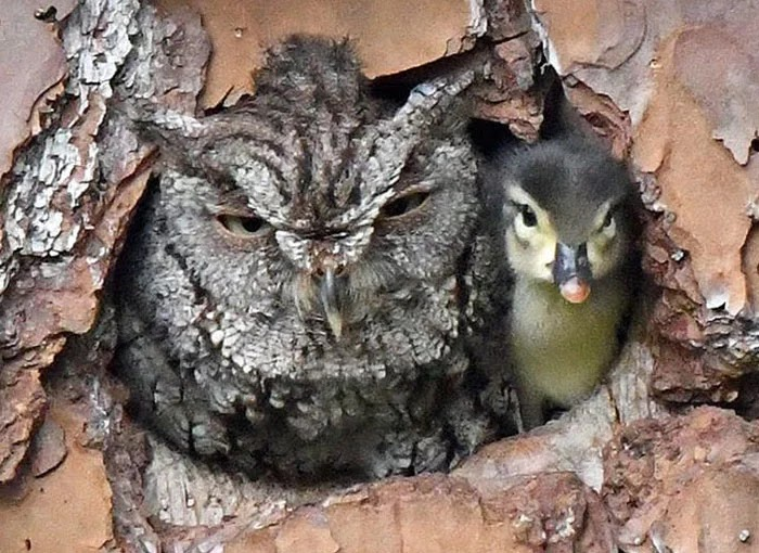 Adorable Pictures Of An Owl Raising A Duckling