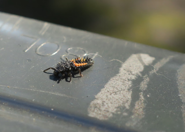 Harlequin ladybird larva on wheelie bin. 31st August 2020.