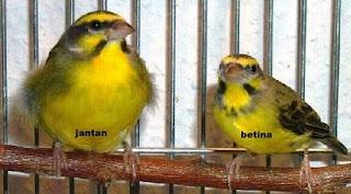 perbedaan lovebird jantan dan betina,kenari jantan dan betina,umur 2 bulan,om kicau,cara membedakan parkit jantan dan betina,