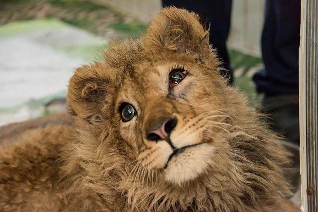 Cпасали львенка Симбу, которому хозяева сломали лапы, чтобы он фотографировался с туристами