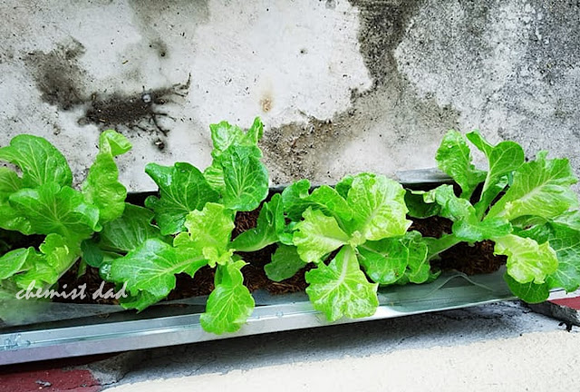 One of the important thing in planting lettuce is water. Keeping the soil moist especially during hot weather is good for the plant. Mulch the soil with sawdust or rice hull will help.
