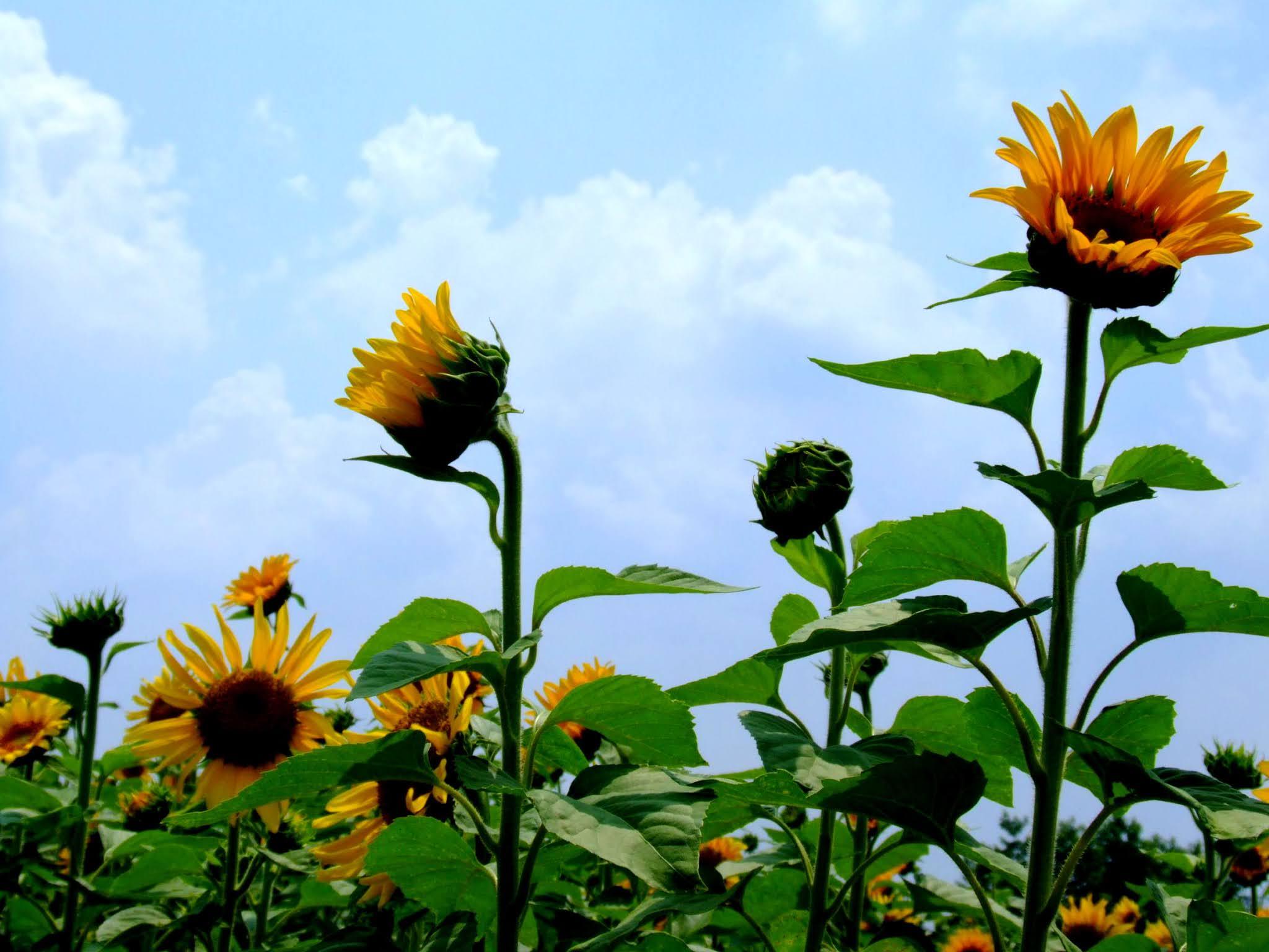 青空 黄色い向日葵(ヒマワリ)