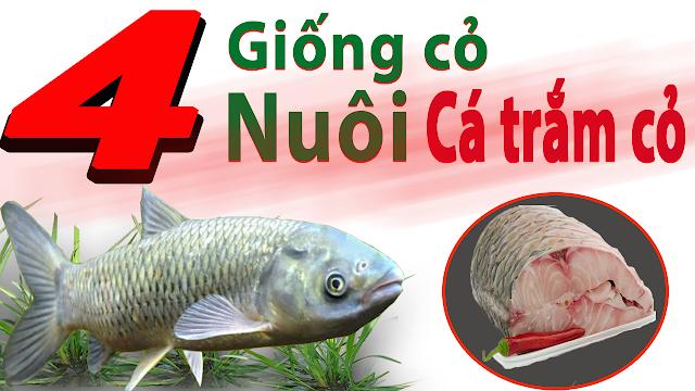 Danh sách các loại giống cỏ nuôi cá trắm cỏ tốt nhất