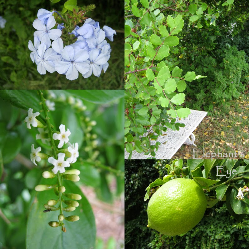 Plumbago, carob fiddlewood, lemon