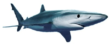 Tubarão-Azul ou Cação-Azul (Prionace glauca)