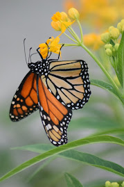 A Monarch butterfly hanging off a yellow flower. Monarchs need our help. Photo by Marc Meyer on Unsplash.