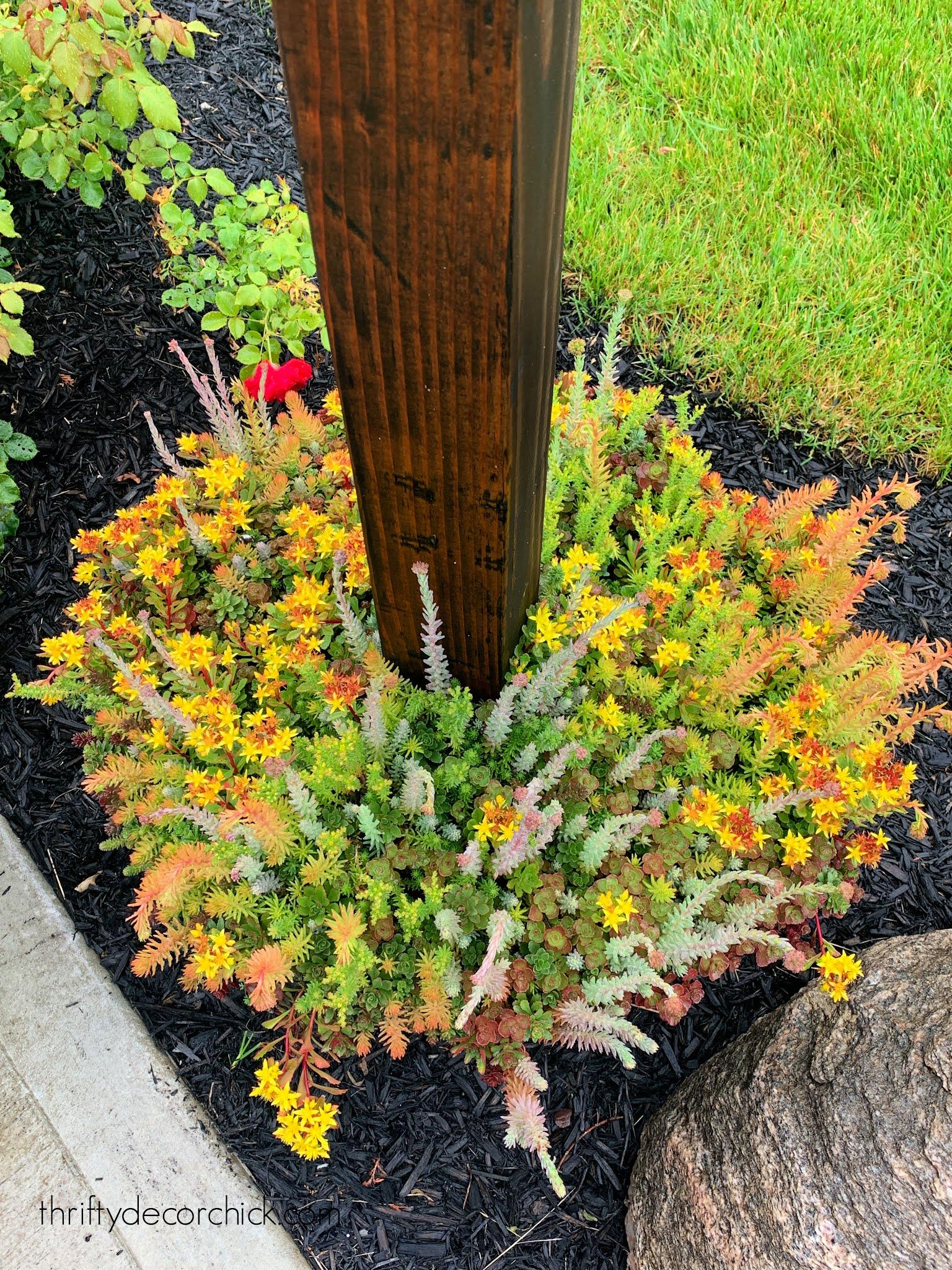 sedum tile plant in planter