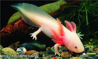 Monster Air atau Axolotl lebih dikenal sebagai Ikan Salamander