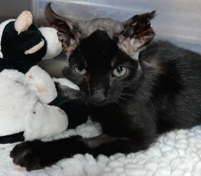 black cat with bald legs and burnt ears
