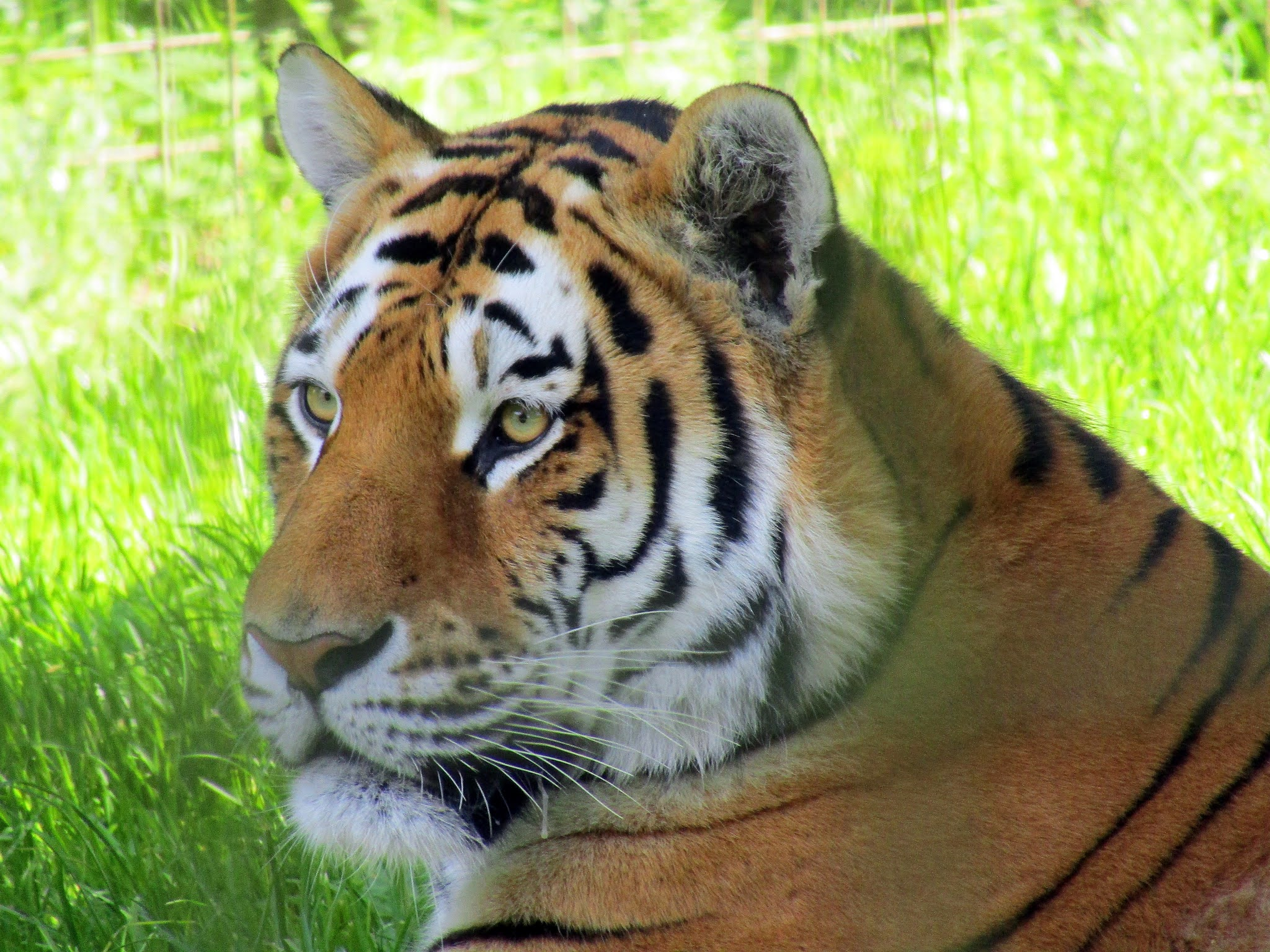 A photo of an amur tiger at Whipsnade Zoo.