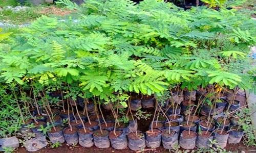 Pohon Sengon dapat diklasifikasikan ke dalam genus paraserianthes dengan spesies Paraserianthes falcataria L. Manfaat Pohon sengon adalah sebagai bahan rayon dan pulp untuk pembuatan kertas dan mebel. Selain itu, pohon sengon juga bermanfaat untuk mengikat nitrogen
