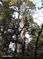 Hollow trunk, still alive - Kenroku-en Garden, Kanazawa, Japan