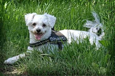 white dog breeds, white dog