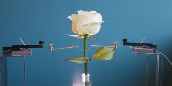 Ρεύμα από τριαντάφυλλο!