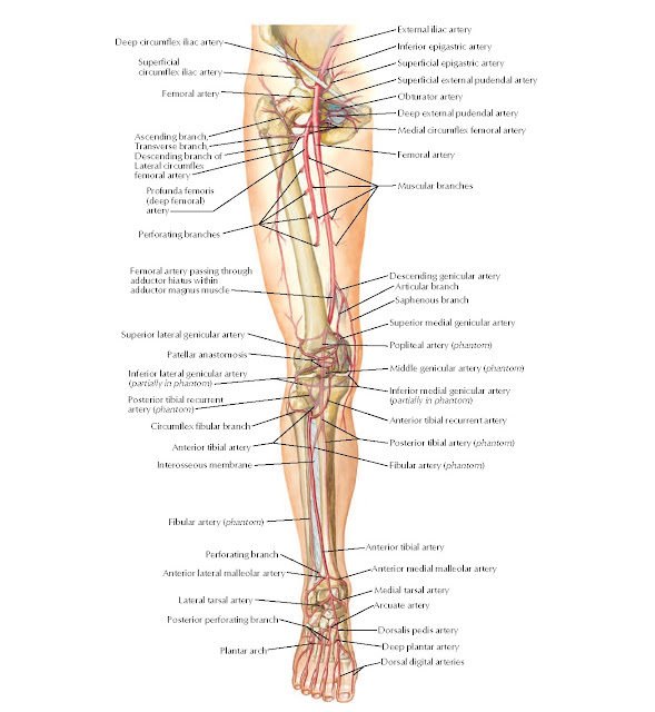 Arteries of Lower Limb: Schema Anatomy