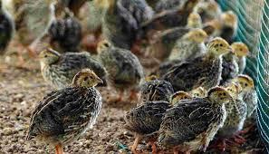 usaha ternak burung puyuh petelur