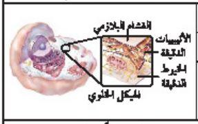 الهيكل الخلوي