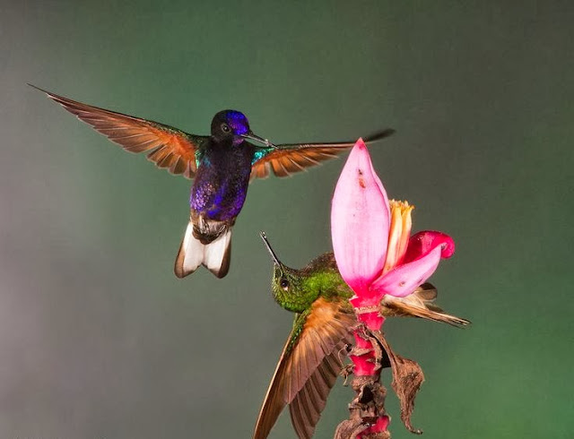 Hummingbirds showing circus