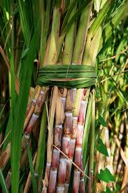 "GUYS!! What Is ""Sugarcane"" Called In Your Native Language? (Be Proud To Share)"
