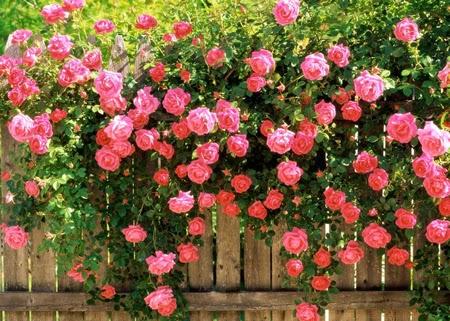 How To Prune Roses |The Garden Of Eaden