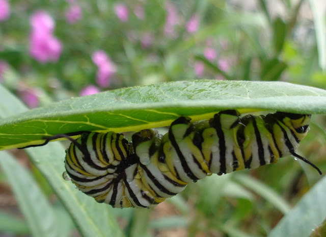 Monarch caterpillar hiding under milkweed leaf