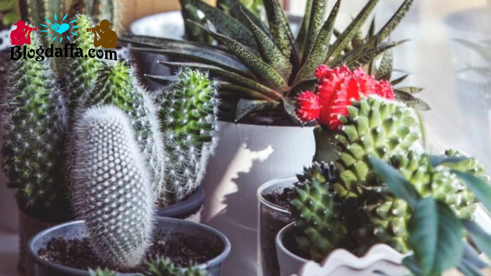 Jenis Jenis Kaktus yang Cocok untuk Dekorasi Ruangan