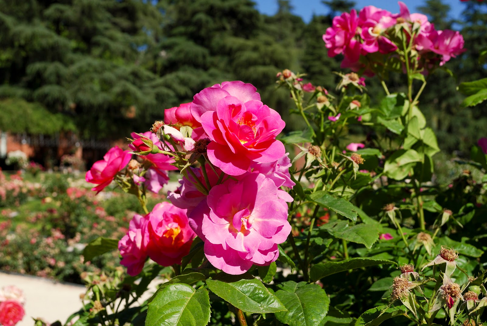 rosaleda rose garden show madrid parque oeste west park beautiful moncloa spain flower