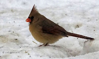 Northern cardinal female, PEI, Canada, by Jodi Arsenault