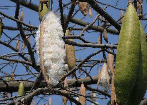 Kapok fibre
