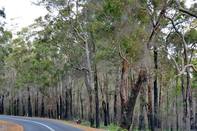 Angebrannt, Angekokelt, Waldbrand, Wald, Australien, schwarz