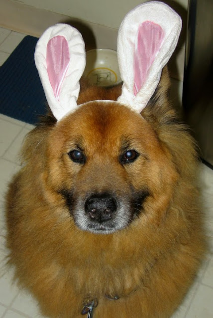 Photos: Easter bunny dogs wearing rabbit ears