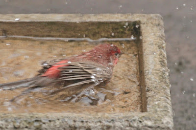 """This image features a male House finch in a cement bird bath that is on my garden floor. He is lying on his breast with his back to us but the right side of his face and one of his eyes can be seen. His wings are pressed against either side of his body. House finches are featured in volume one of my book series, """"Words In Our Beak.""""  Info re these books is in another post on my blog @ https://www.thelastleafgardener.com/2018/10/one-sheet-book-series-info.html"""