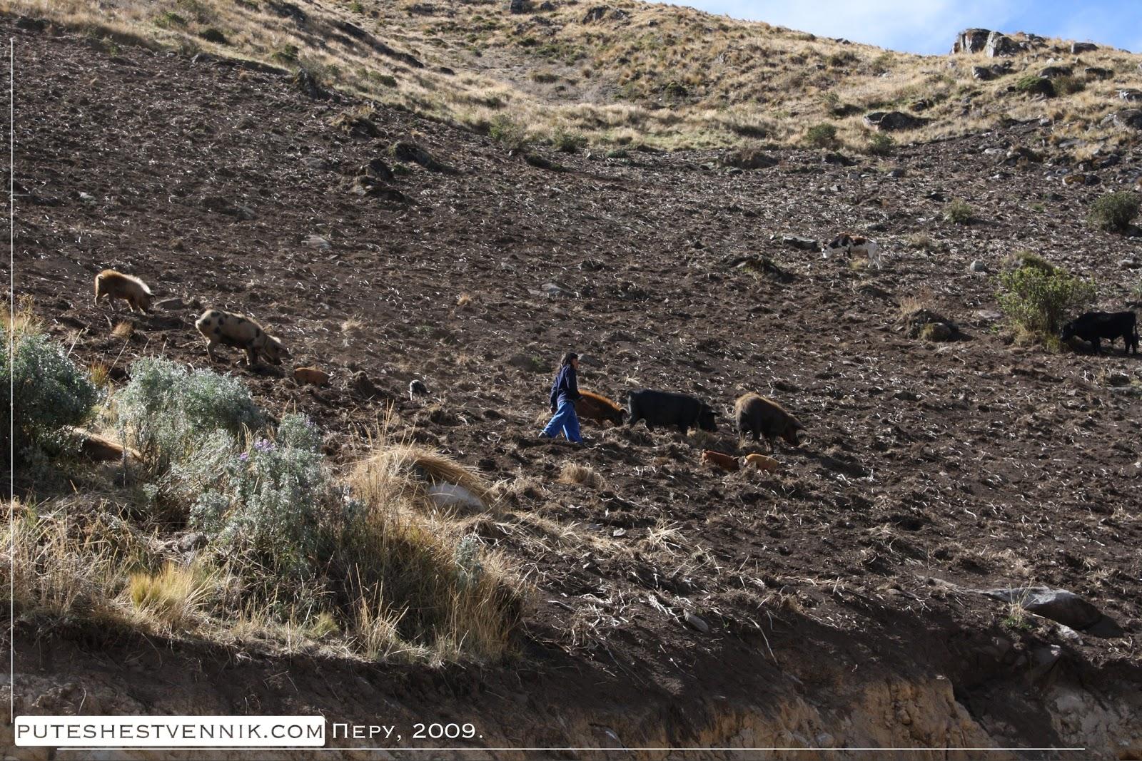 Перуанская девочка пасет свиней не склоне горы