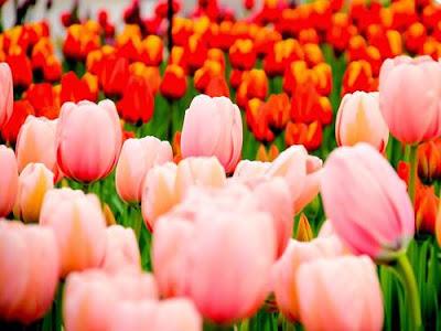 Wallpaper Bunga Tulip Indah
